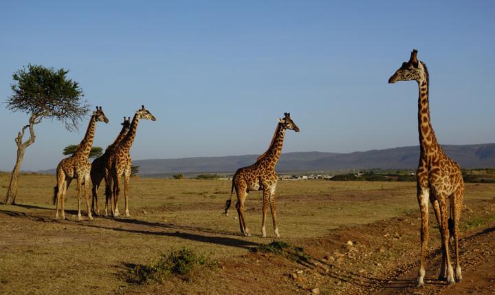 マサイマラ・サファリツアー(+マサイ族の村)体験談、服装や注意点 (ケニア旅行記6)